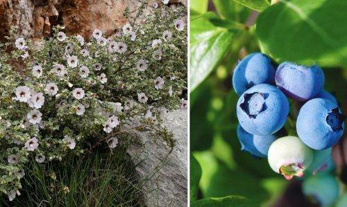 8 arbustes à racines peu profondes