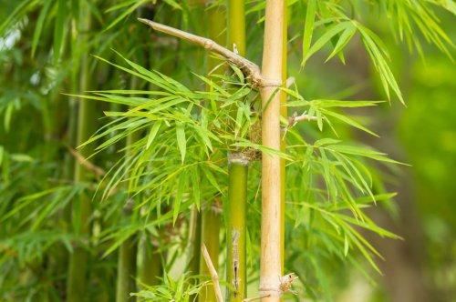 Comment se débarrasser définitivement du bambou dans votre jardin ?