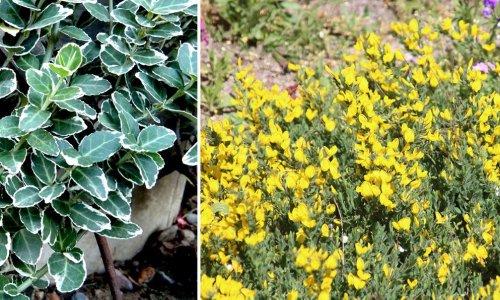 11 arbustes couvre-sol et tapissants