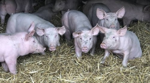Bretagne : L'élevage de porcs sur paille, une alternative pour protéger les cours d'eau