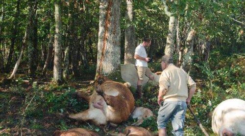 Dordogne : « On n'avait jamais vu ça ! », explique l'éleveur du troupeau de vaches foudroyé