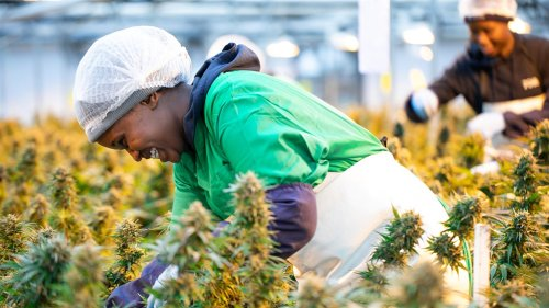 A Lesotho dagga grower just landed Africa's first approval to sell to the EU