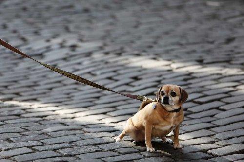 Toul : un chien agressé, sa laisse étrangle l'autre canidé
