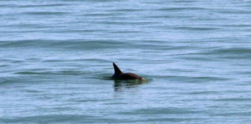 Mexico announces new plan to protect near-extinct porpoise
