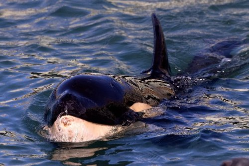 Race to find beached baby orca's mother in New Zealand