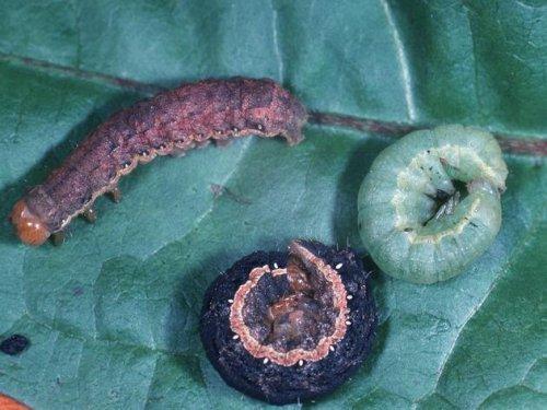 Gemüseeule: Schlimmer als Schnecken – so bekämpfen Sie die Plage
