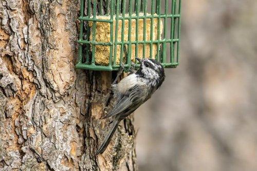 DIY Suet Bird Seed Cake Recipe: How to Make Homemade Suet Cakes for the Birds