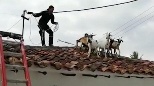Colombia: Goats kidding around on rooftop rescued