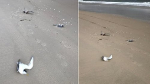Eleven protected crested tern birds fatally mowed down on Bribie Island beach