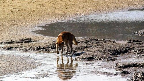 Dingo attack on Fraser Island investigated after toddler is left with several wounds