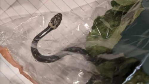 Aldi lettuce snake preparing to be transported back to Queensland, wildlife group says