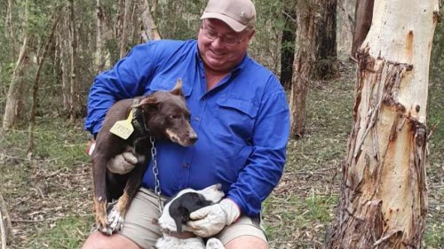Dogs risk it all to help their owner save his cattle in flood
