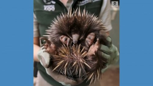 Rare echidna puggle born at Australian zoo