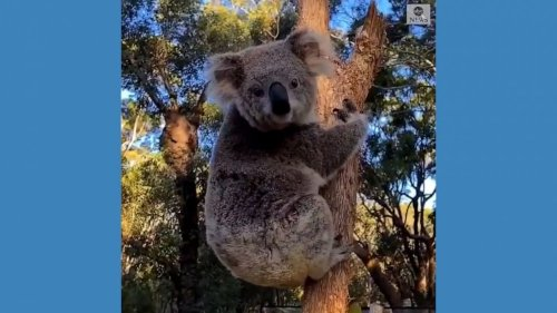 Koala climbs up tree after health check