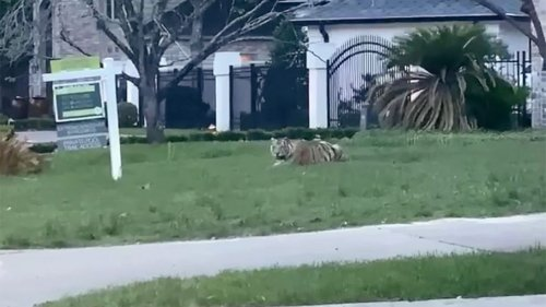 Owner of Houston tiger arrested after ditching police in high-speed pursuit
