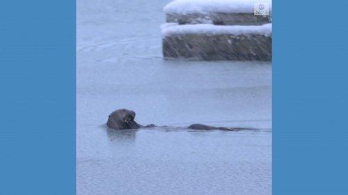 Sea otter backstrokes through snowstorm