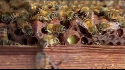 Scientists in the Netherlands are training bees to detect COVID-19