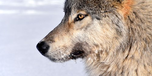 Wolf virus study shows the virtue of space