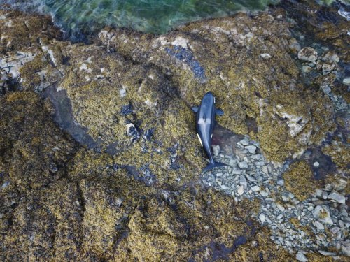 Live killer whale stranded on Southeast Alaska beach swims away with high tide
