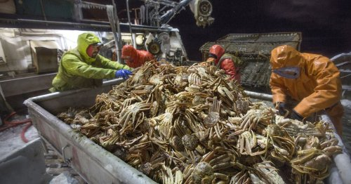 Valuable crab populations in Alaska's warming Bering Sea waters are in a 'very scary' decline