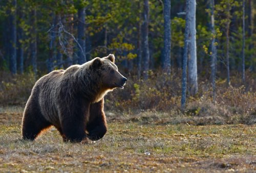 Cyclist in Alaska Fights Off 500-Pound Bear After it Bit Him
