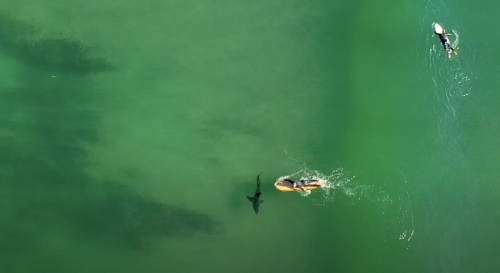 Watch an Unaware Surfer Practically High-Five a White Shark in SoCal
