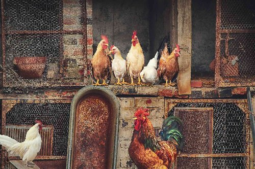 How to Keep Flies Out of Your Poultry Farm | Aha!NOW