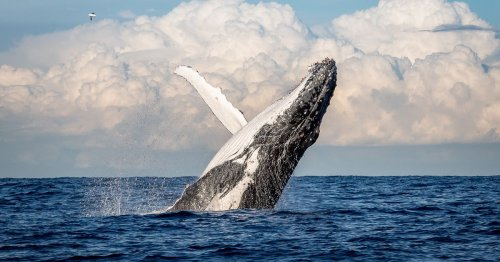 Fisherman in coma after whale leaps from sea, lands on boat