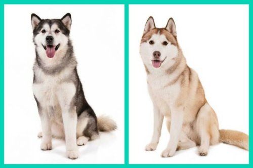Can You Tell These Dog Breed Look-Alikes Apart? – American Kennel Club