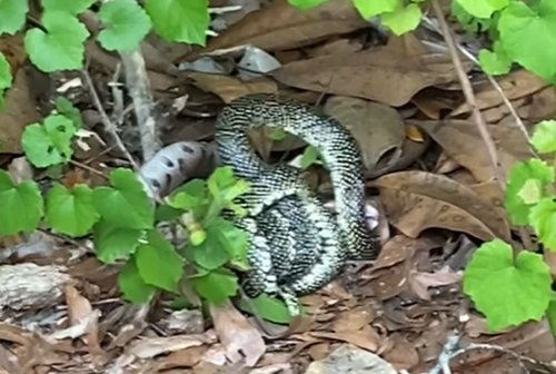 Copperhead being swallowed whole in epic snake battle in Alabama yard caught on video