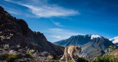 Landmark studies bring elusive snow leopards back into limelight