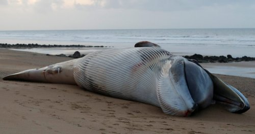 'Abnormal' spike in fin whales washed up on French shores