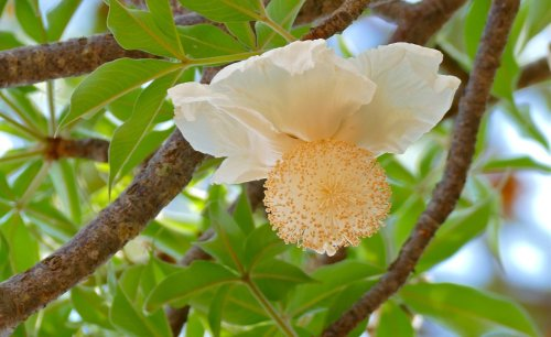 Southern Africa: The Sex Organs of Baobab Flowers May Solve the Puzzle of Trees That Bear More Fruit