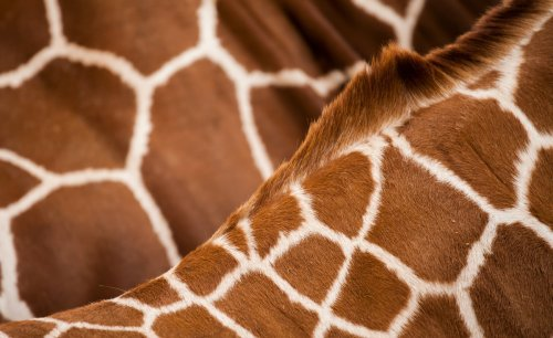 Zimbabwe: French Scientists in Zimbabwe Use Facial Recognition Technology to ID Giraffes