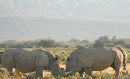 Africa: Could a Baby Northern White Rhino Be On the Cards? Scientists Say Yes With New Embryos