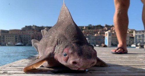 This Bizarre Pig-Faced Shark Was Just Pulled Out Of The Mediterranean Sea