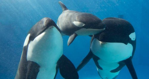 Stunning Drone Footage Reveals Complex Social Lives Of Killer Whales — And That They Have Best Friends