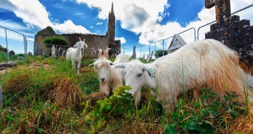 These Grazing Goats And Sheep Just Helped Uncover Hundreds Of Forgotten Historic Graves In Ireland