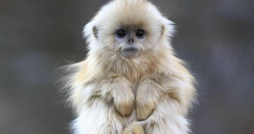 Meet The Golden Snub-Nosed Monkey, The Adorable Primate Poachers Are Helping Push To Extinction