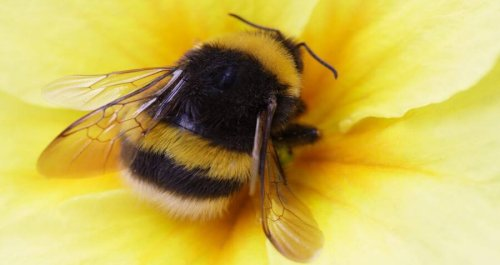 The American Bumblebee Is About To Become An Endangered Species For The First Time In History