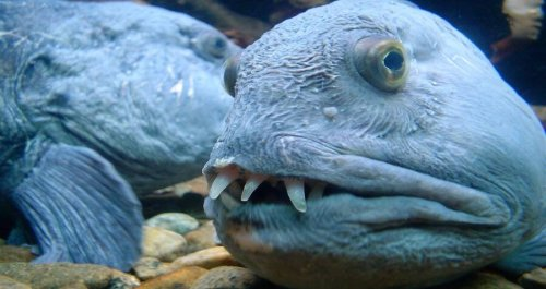 Meet The Wolf Eel, The Grotesque Monster Of The North Pacific — That's Actually Really Friendly
