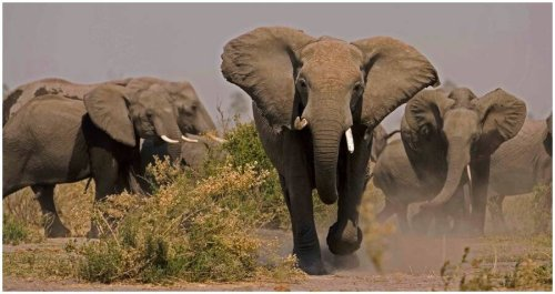Suspected Rhino Poacher Trampled To Death By Stampeding Elephants