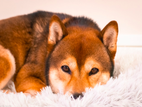 How crucial is the Robinhood factor to Shiba Inu's price action