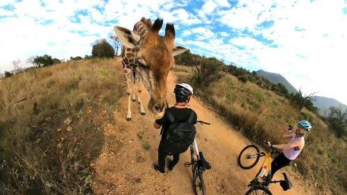 Una jirafa curiosa detiene a una pareja de ciclistas en seco y comienza a acariciarlos