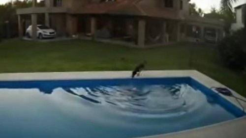 Una perra salva a su compañera ciega de ahogarse en la piscina de su casa en Argentina