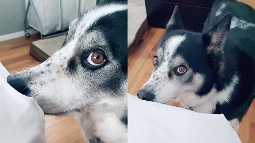 Un perro mordisquea la cama en busca de atención de su dueño y se vuelve viral