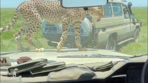 VÍDEO: Un guepardo intenta entrar en un vehículo lleno de turistas en un safari