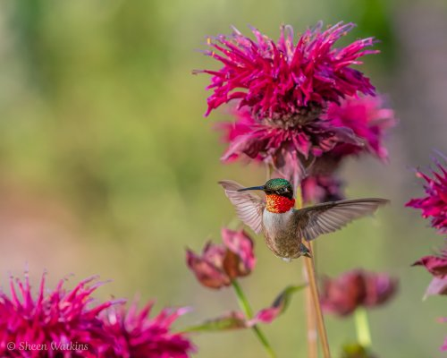 How to Photograph Hummingbirds in Natural Light