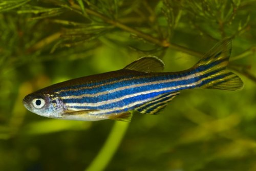 Danios Fish Complete Care Guide - The Lazy Mans Fish -