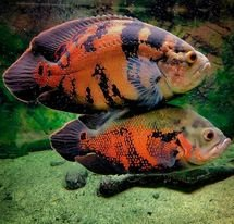 Complete Oscar Fish Guide: Environment, Types, Care, Dieting, Price -